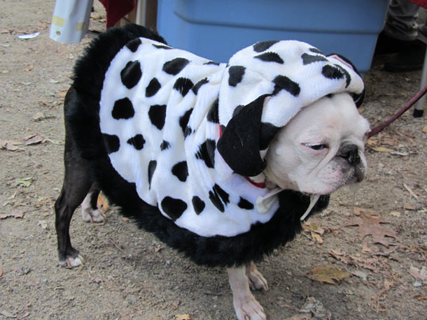 For a dose of Buffalo Bill-in- Silence of the Lambs perversity, this bulldog actually donned one of Cruella De Vil's Dalmatian coats.