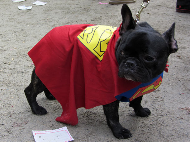 For those of you who doubted the Kryptonian lineage of French bulldogs, it's a bird, it's a plane, it's...Superdog!