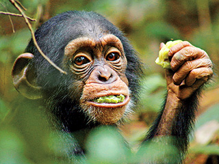 HUMAN-LIKE Oscar tries to find companionship after he's left to fend for himself in Chimpanzee