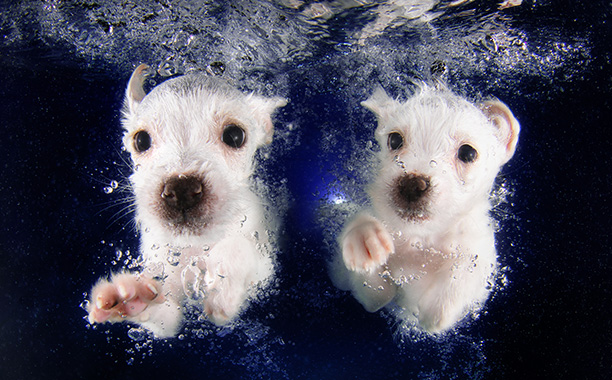 Not to be outdone, white mixed terriers Pringles and Pickme have been working on their synchronized swimming routine all summer.