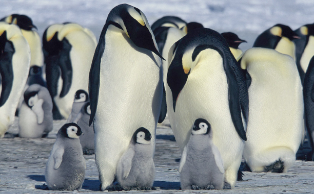 March of the Penguins (2005) G, 80 mins., directed by Luc Jacquet, narrated by Morgan Freeman