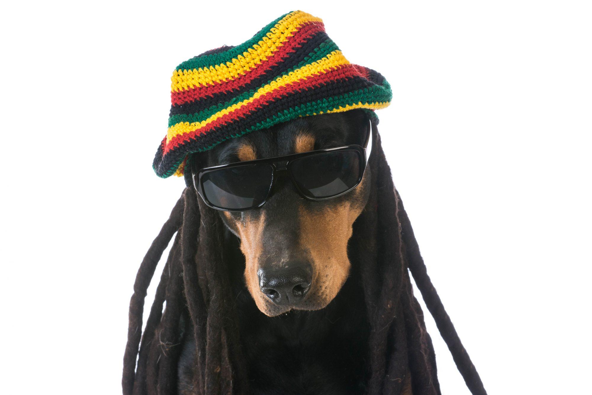 reggae-dog
