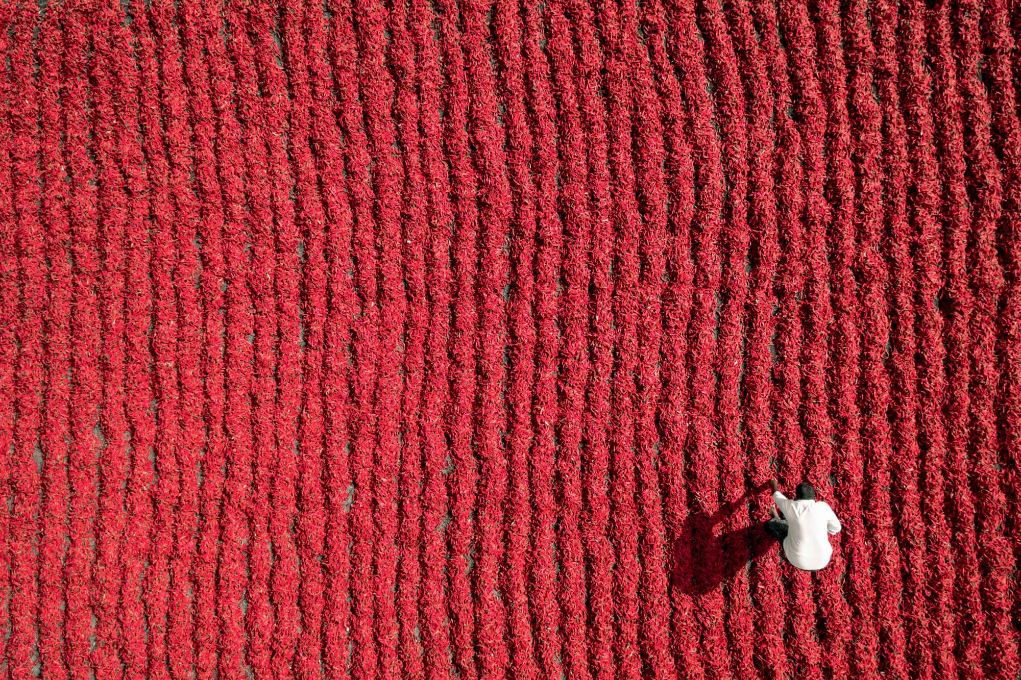 A Farmer Working a Red Chili Field in Guntur, India