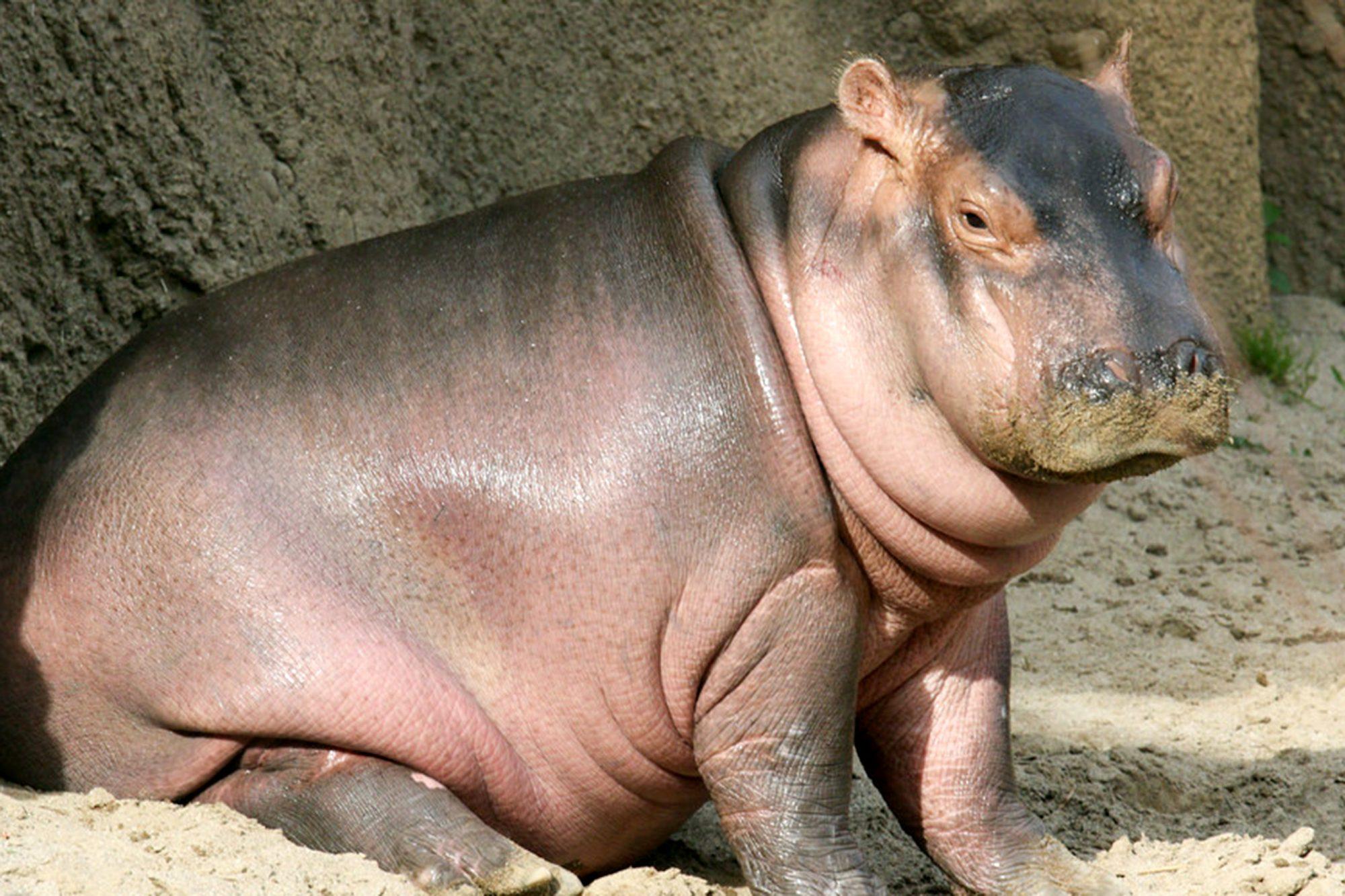 Hippo at Cincinnati Zoo