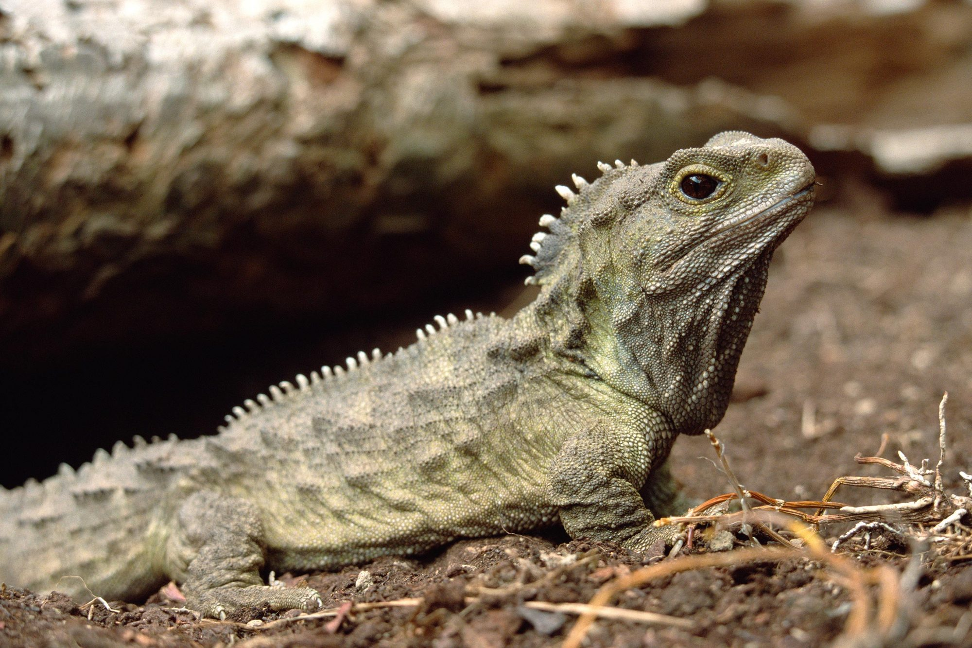 Tuatara (Sphenodon punctatus), portrait, the only surviving species of an order that flourished 200 million years ago, New Zealand