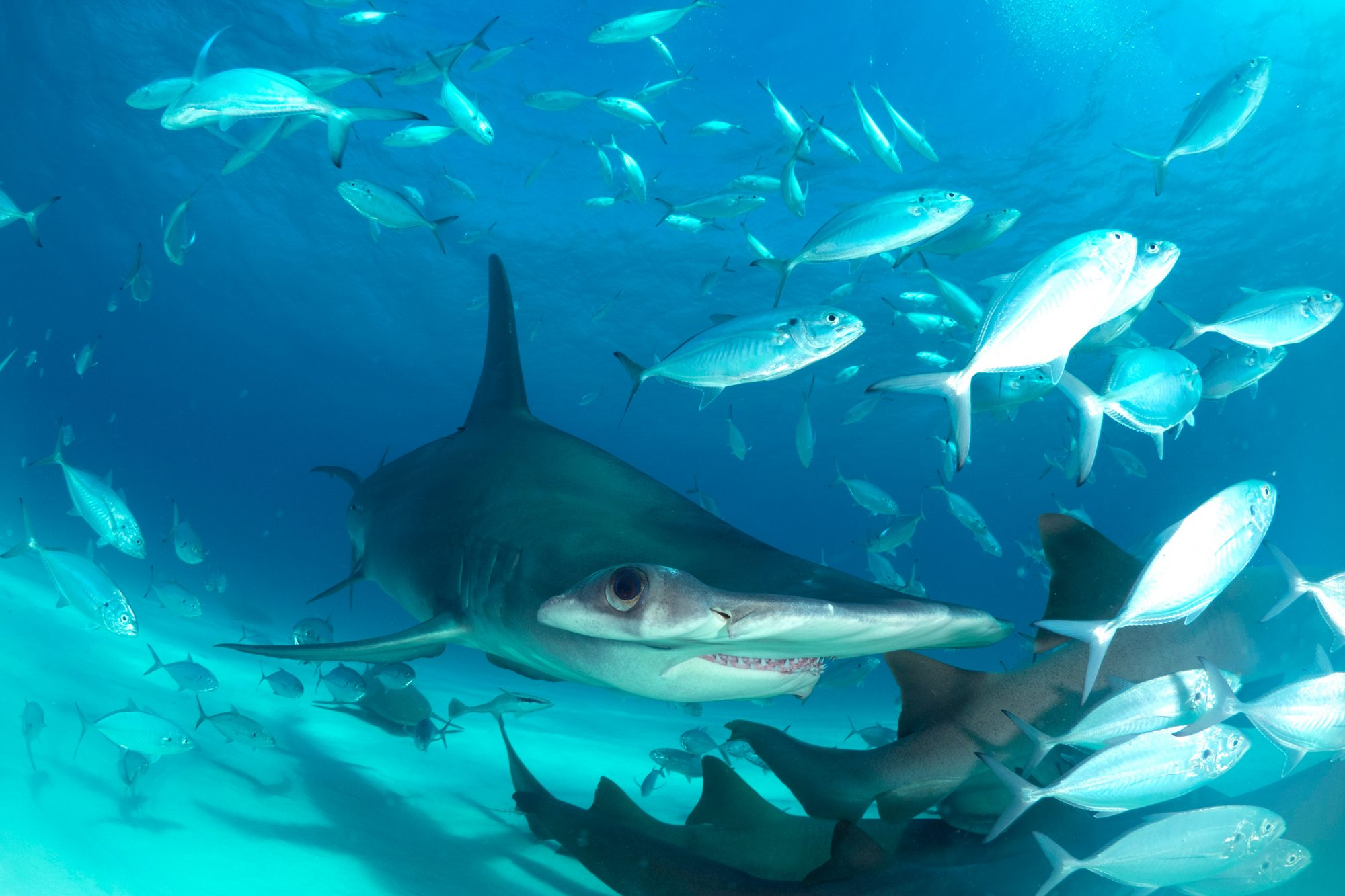The Great Hammerhead Invasion