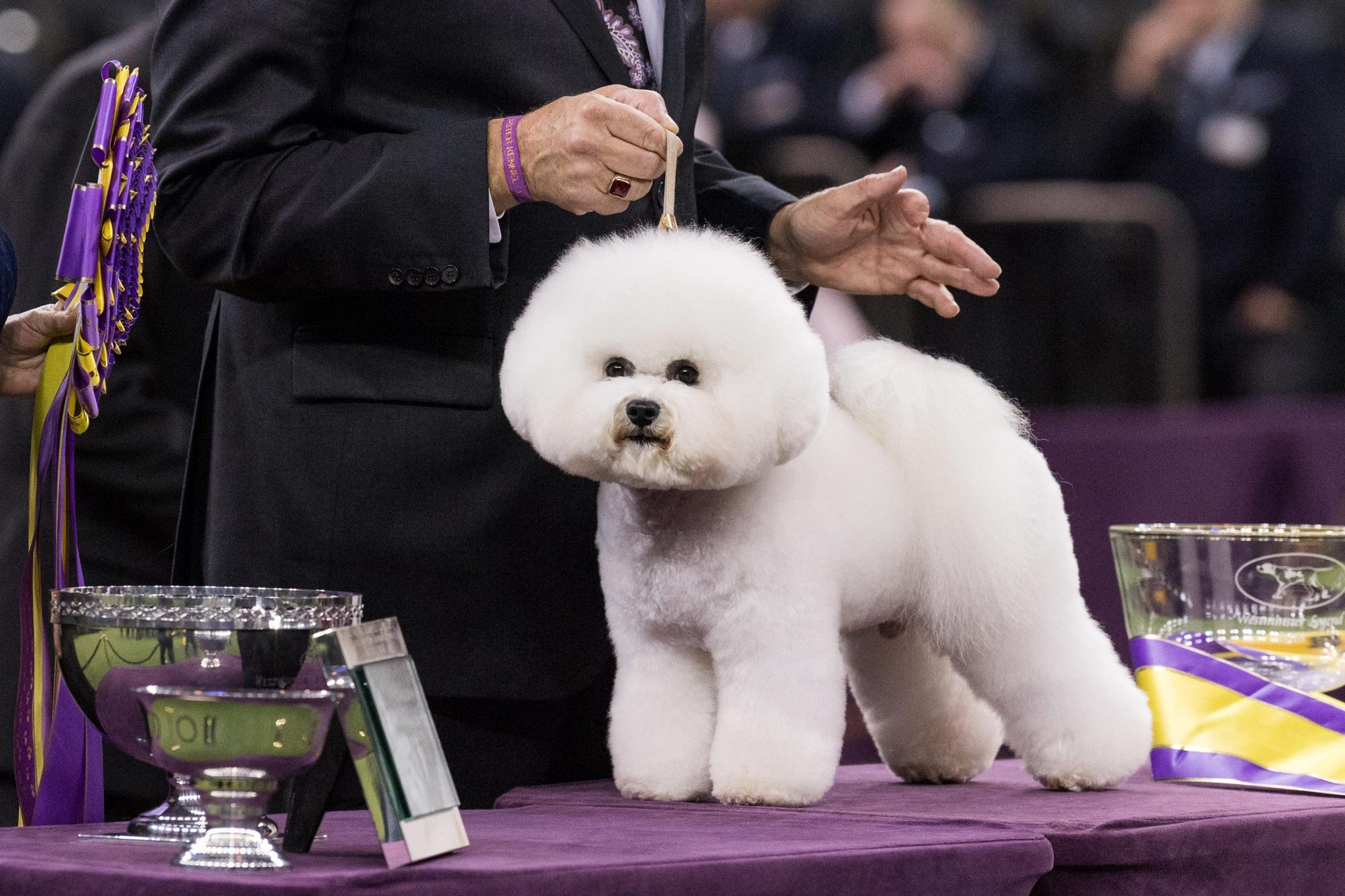 Flynn, a Bichon Frise, was the overall winner / Best in Show