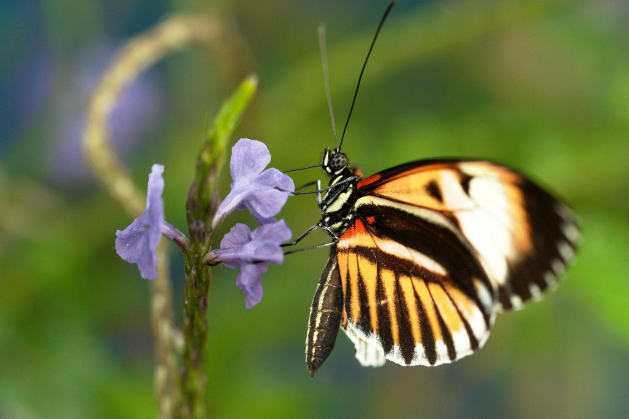 Nature: American Spring Live Postman Butterfly profile drinking, Deerfield, MA CR: Ann Johnson Prum / © THIRTEEN Productions LLC/PBS