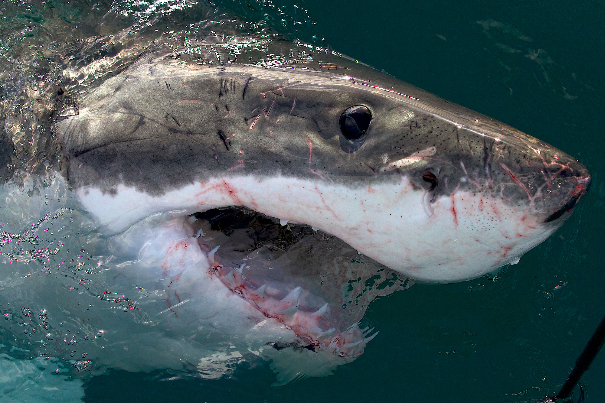 Shark Week 2021 JAWS AWAKENS_ PHRED VS SLASH