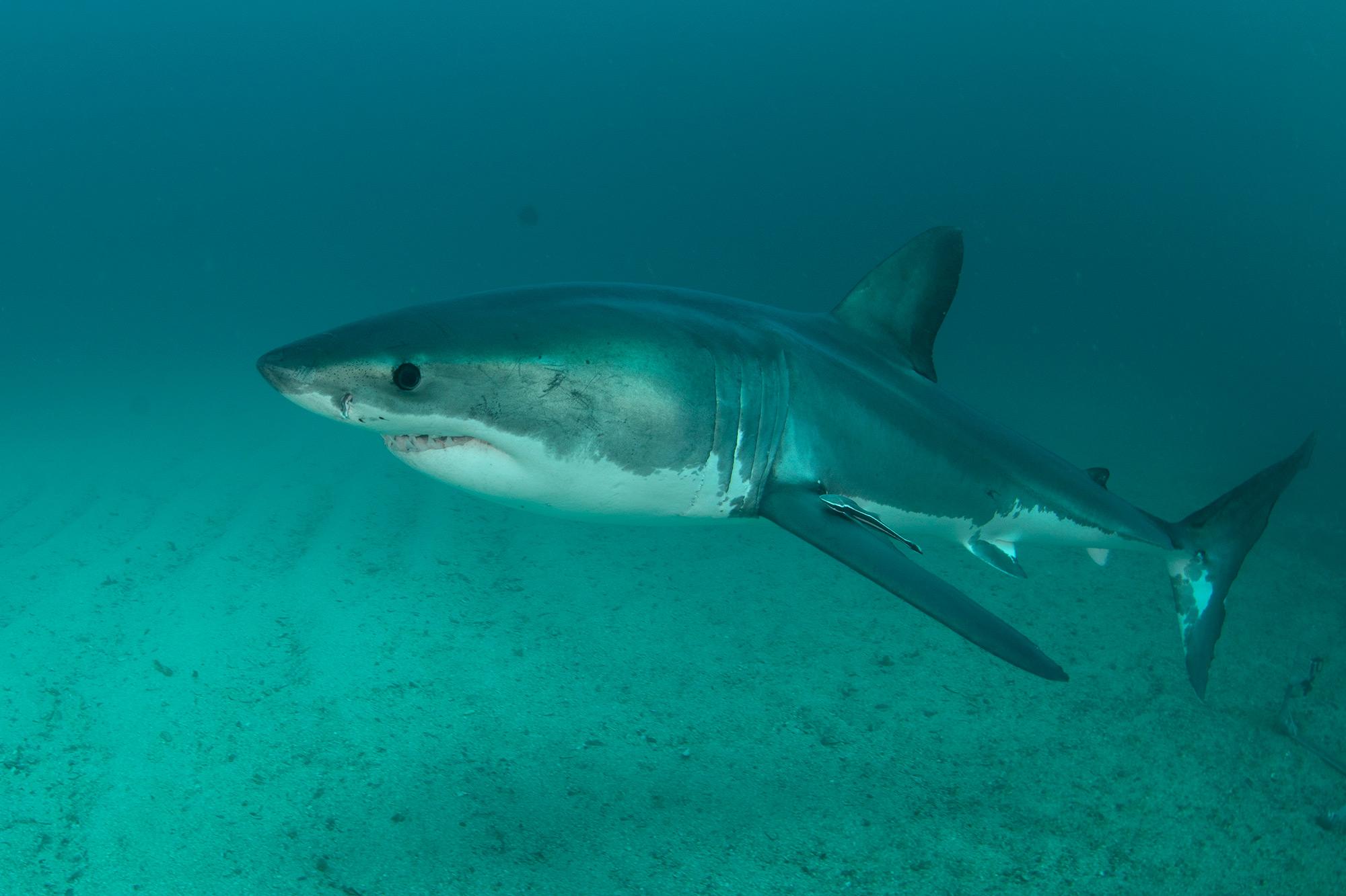 Shark Week 2021 MEGA JAWS OF BIRD ISLAND