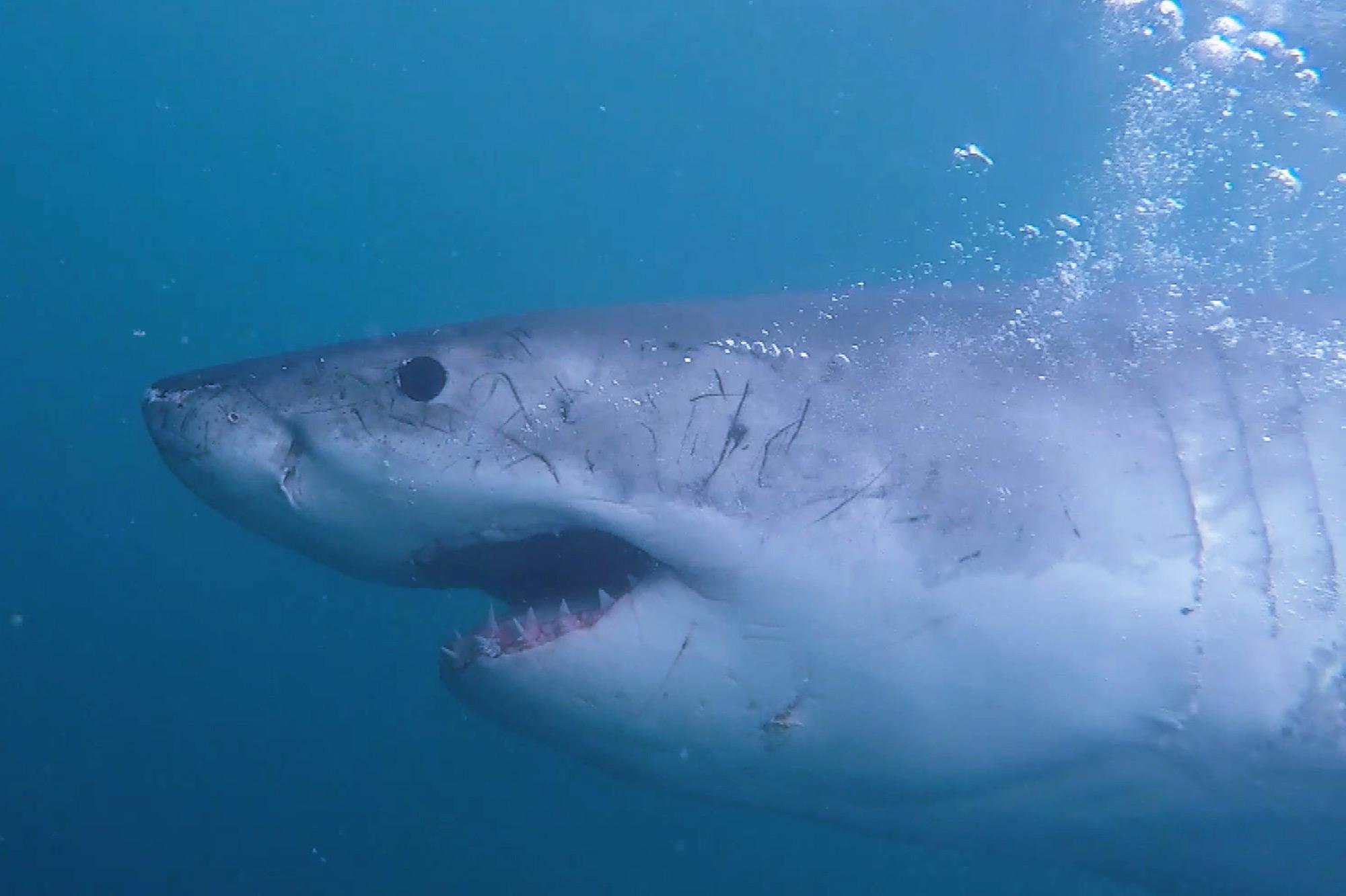 Shark Week 2021 MEGA PREDATORS OF OZ
