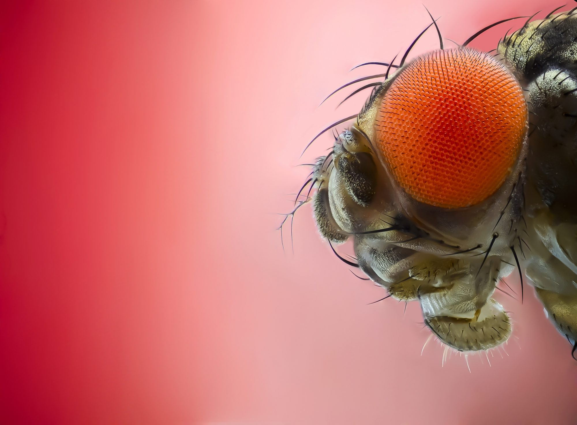 Close up of a fruit fly.