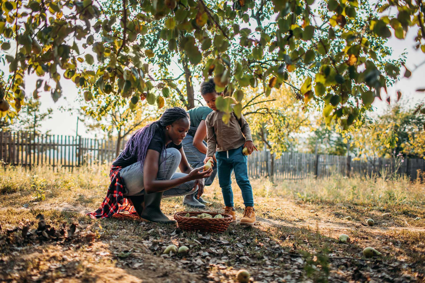 Black Woman And Her Son Picking Apples In Orchard An Autumn