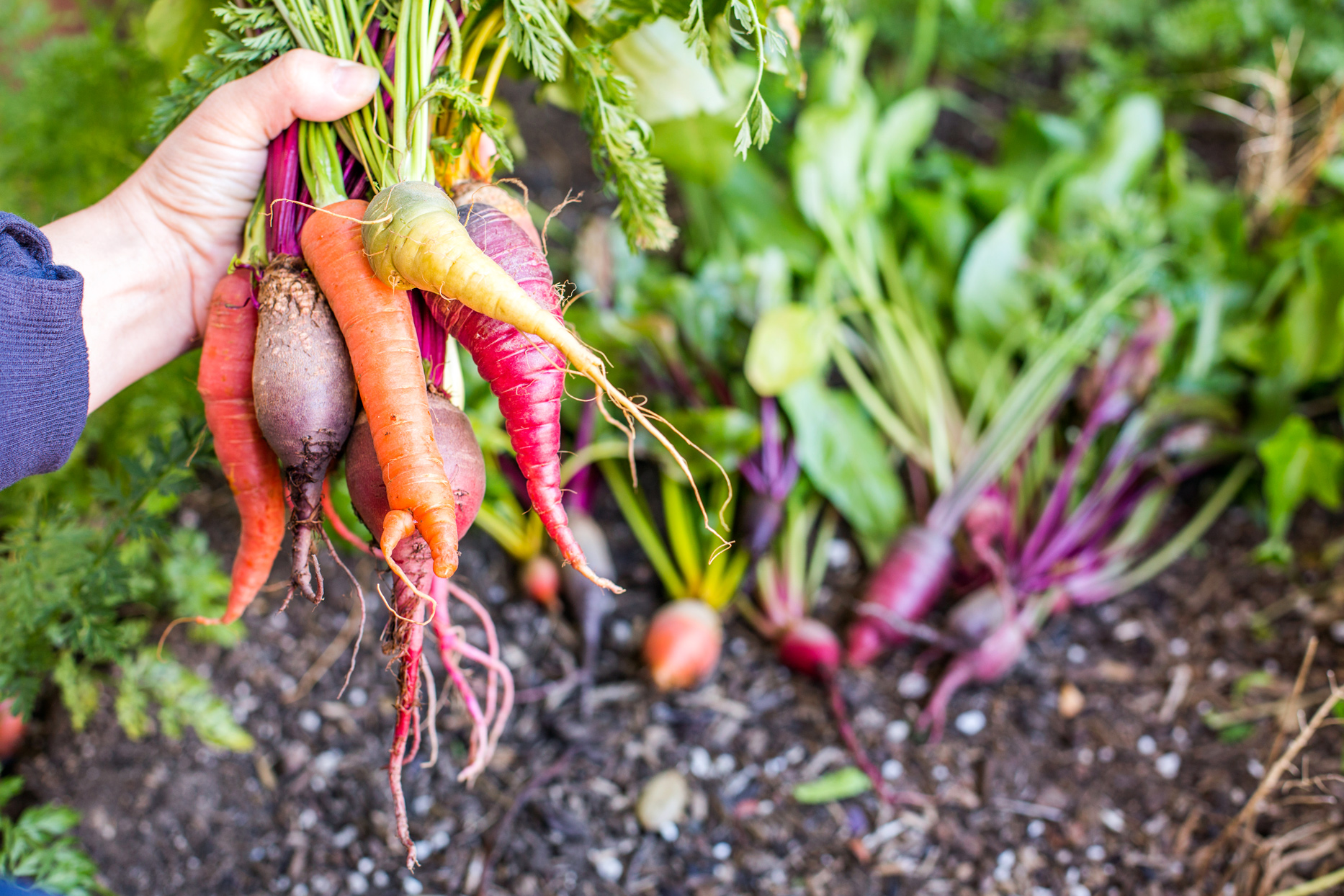 hand holding root vegetables