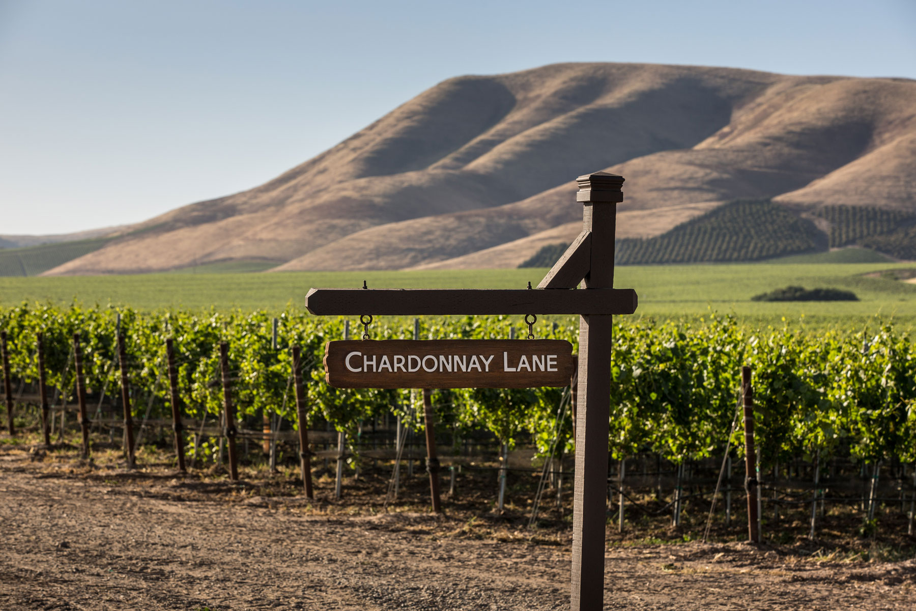 Chardonnay vineyard in Santa Barbara