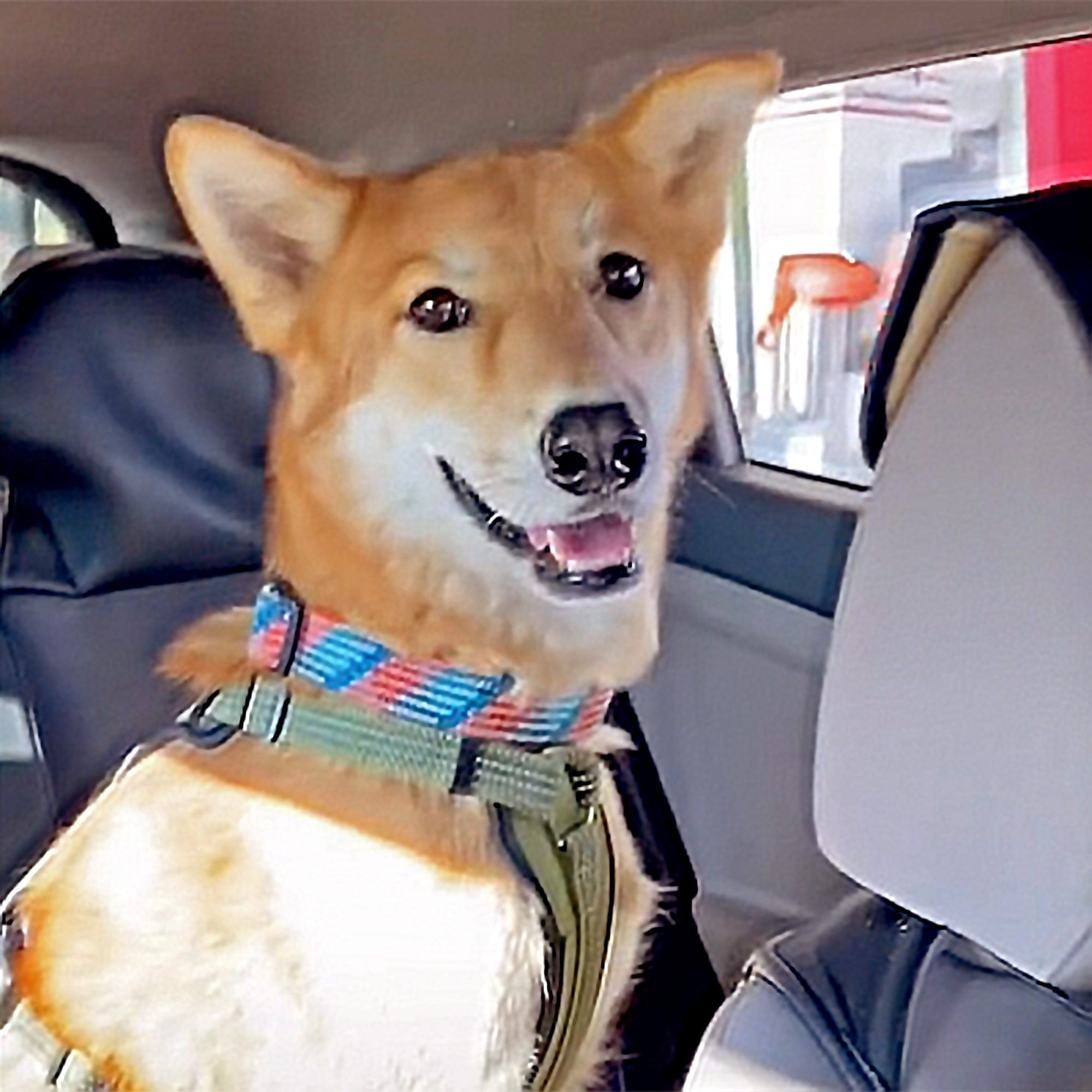 dog in back seat of car waiting for for from a fast food secret menu