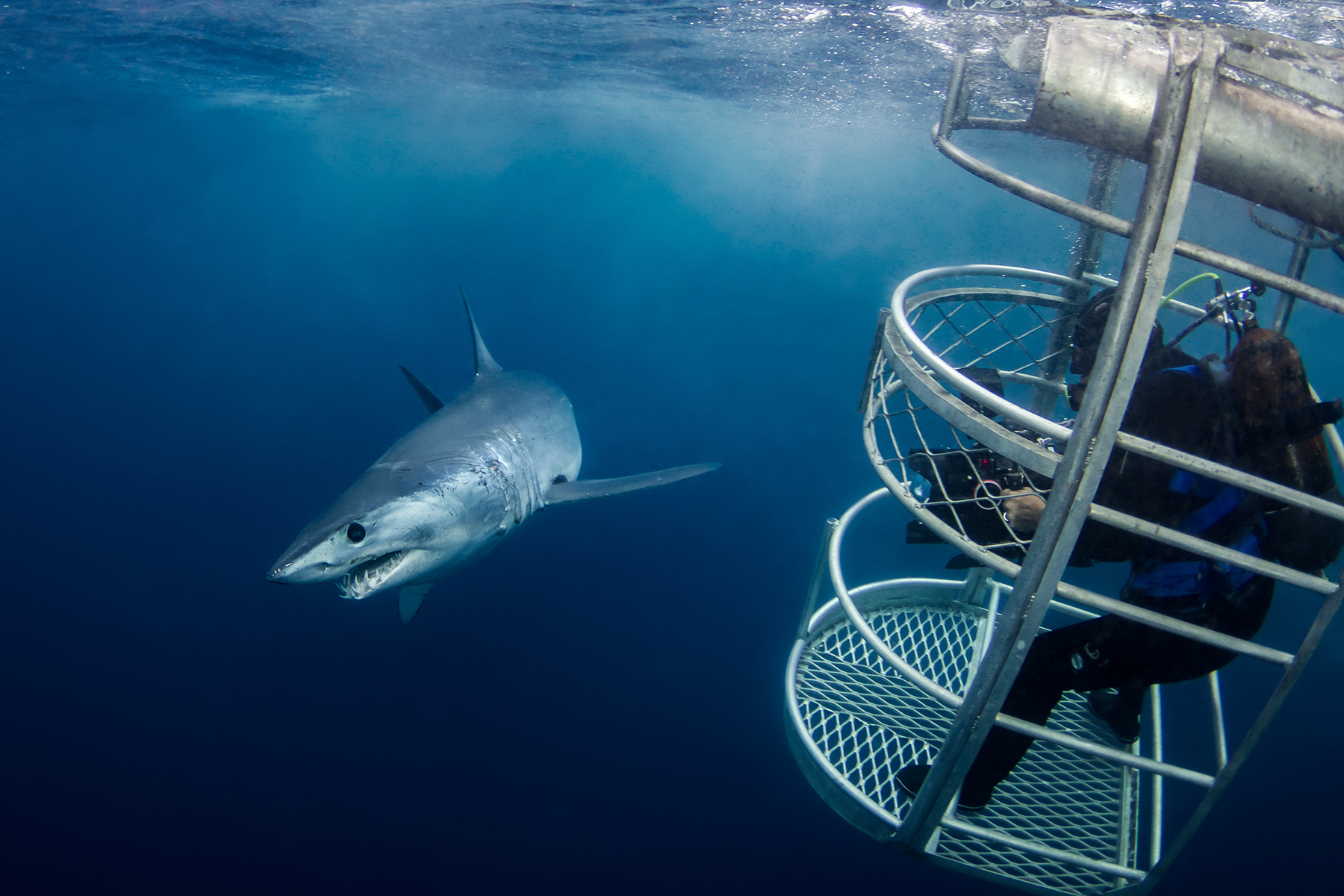 Swimming with sharks in Port Lincoln, Australia