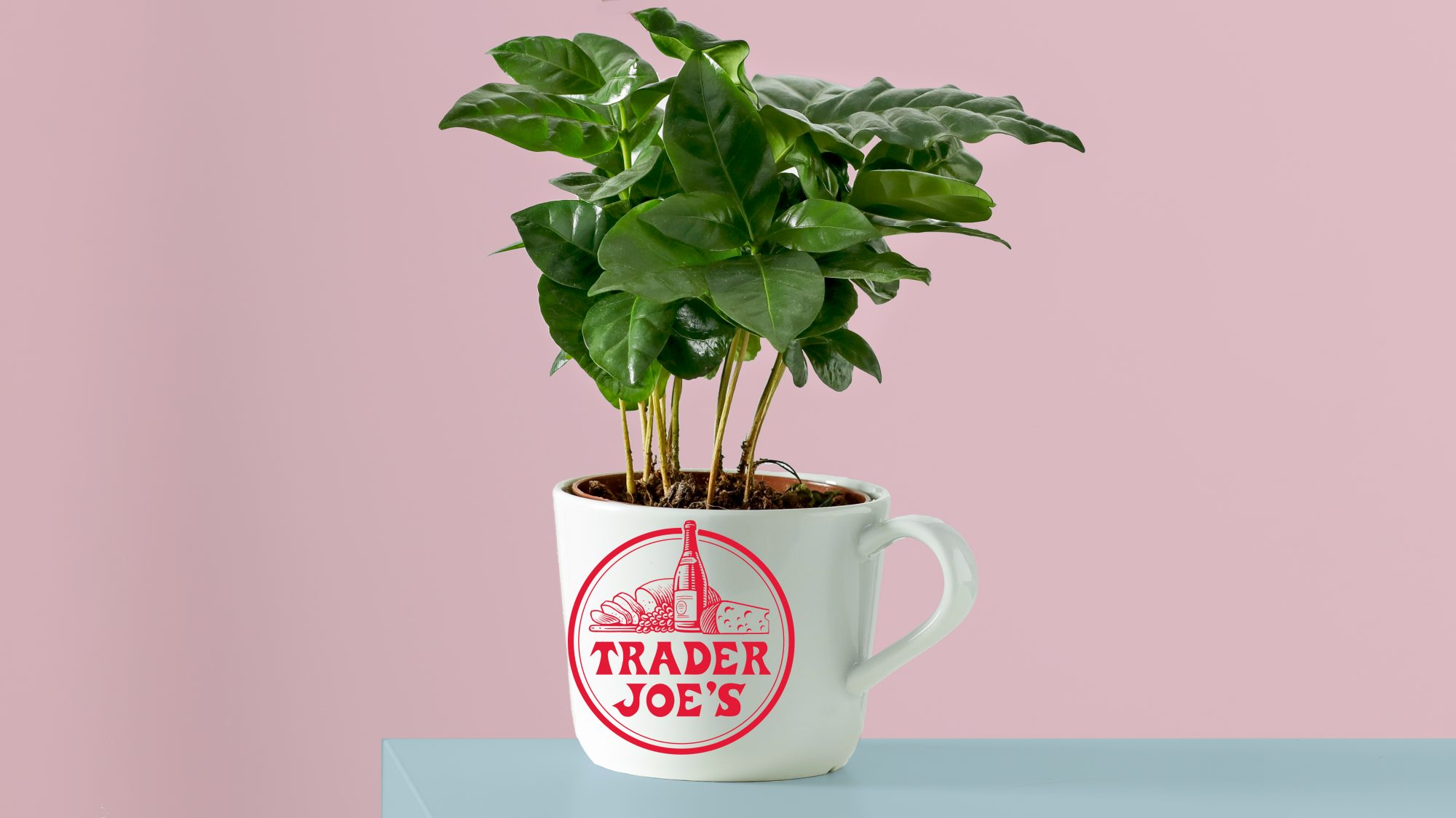 trader joes coffee plants