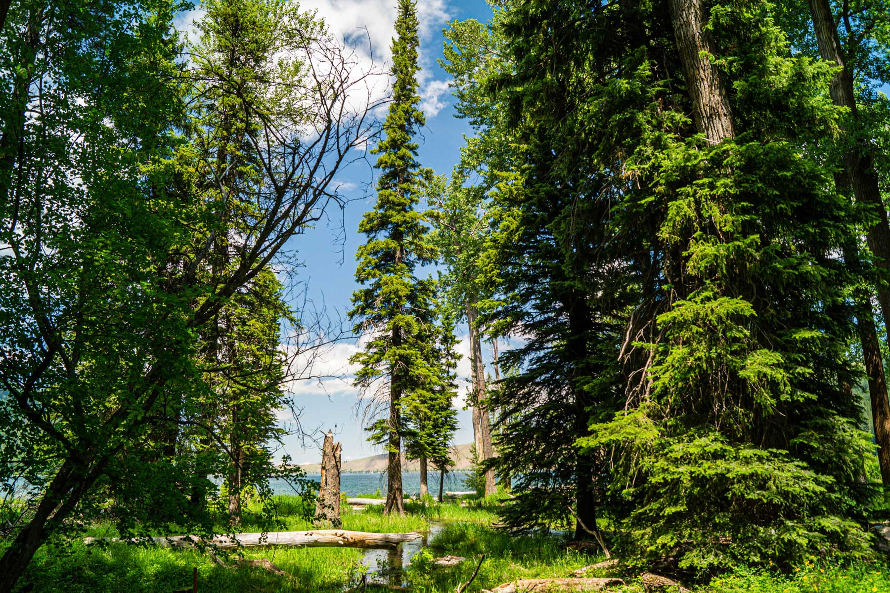 Evergreen trees at Wallowa Lake State Park in Oregon, USA