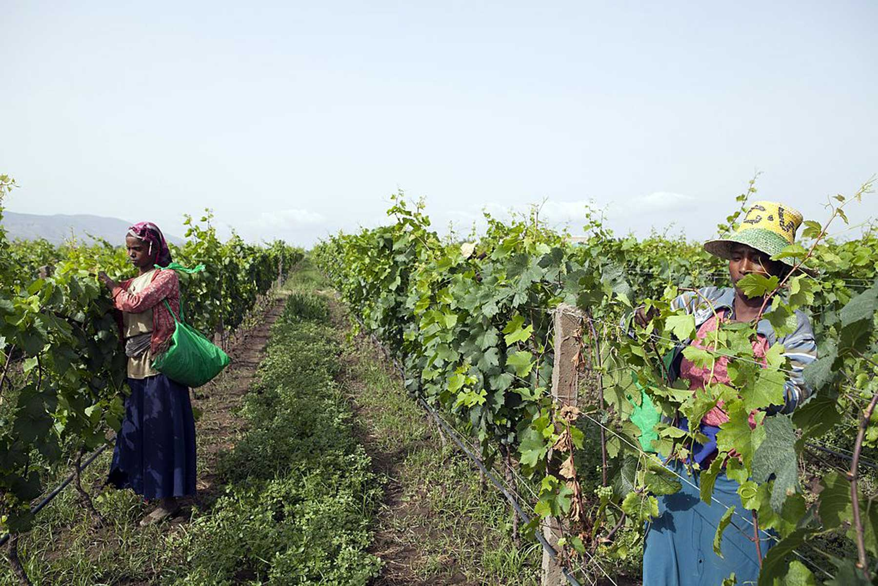 Women pick grapes at the vineyard of the Castel winery outside the town of Ziway, central Ethiopia, on June 12, 2014. Beyond the donkeys on a potholed road in southern Ethiopia, is an unexpected sight -- vineyards bursting with merlot, syrah and chardonnay grapes ripening in the African sun.
