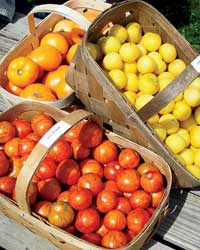 images-sys-200808-a-verill-farm-tomatoes.jpg