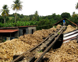 Sugarcane being carted to the distillery.