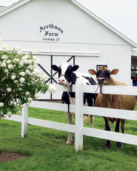 Manolo Blahnik president George Malkemus's prize-winning cows at Arethusa Farm in Litchfield, CT.