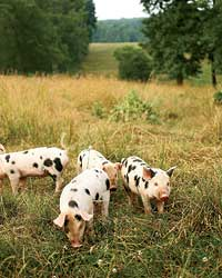images-sys-200808-a-old-spot-pigs.jpg