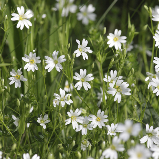 Guide to Foraging: Chickweed