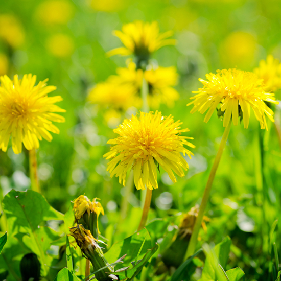 Guide to Foraging: Dandelion