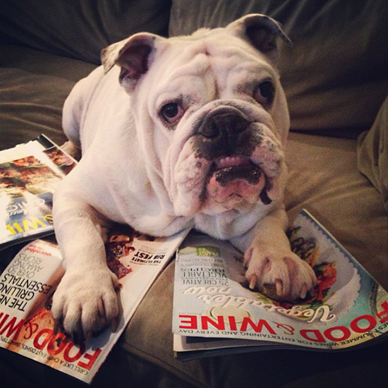 Food & Wine Pets: Bulldog