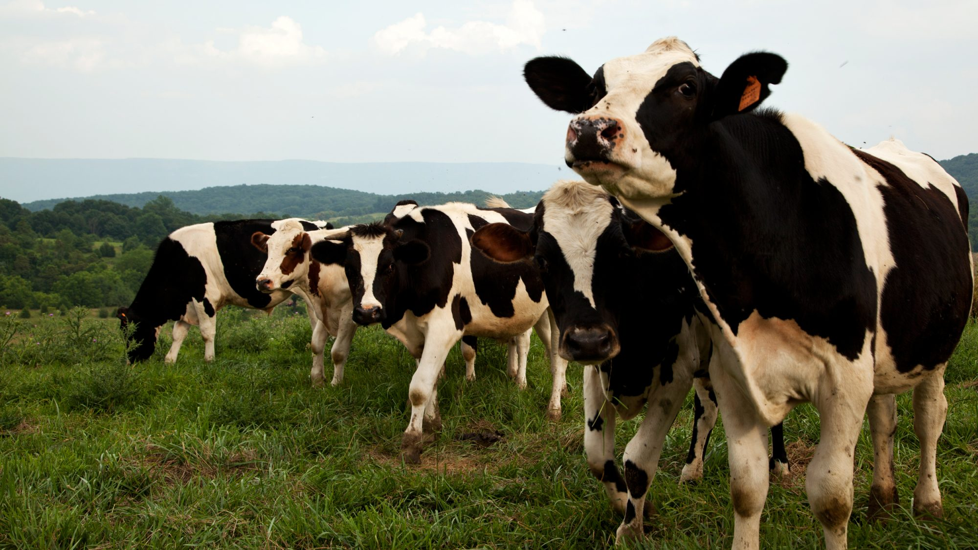 Happy Cows, More Nutritious Milk