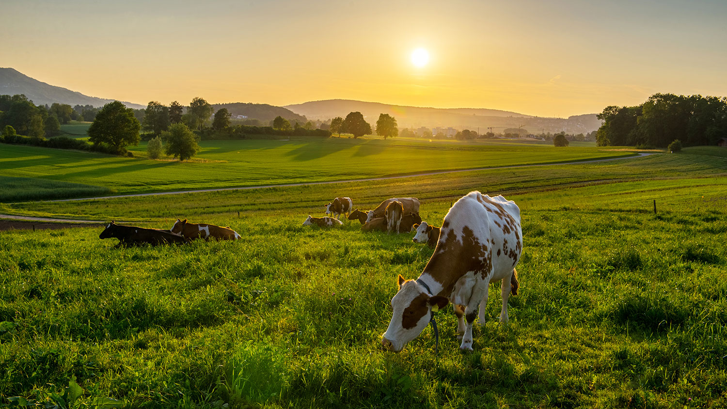 cows given acupuncture in Switzerland