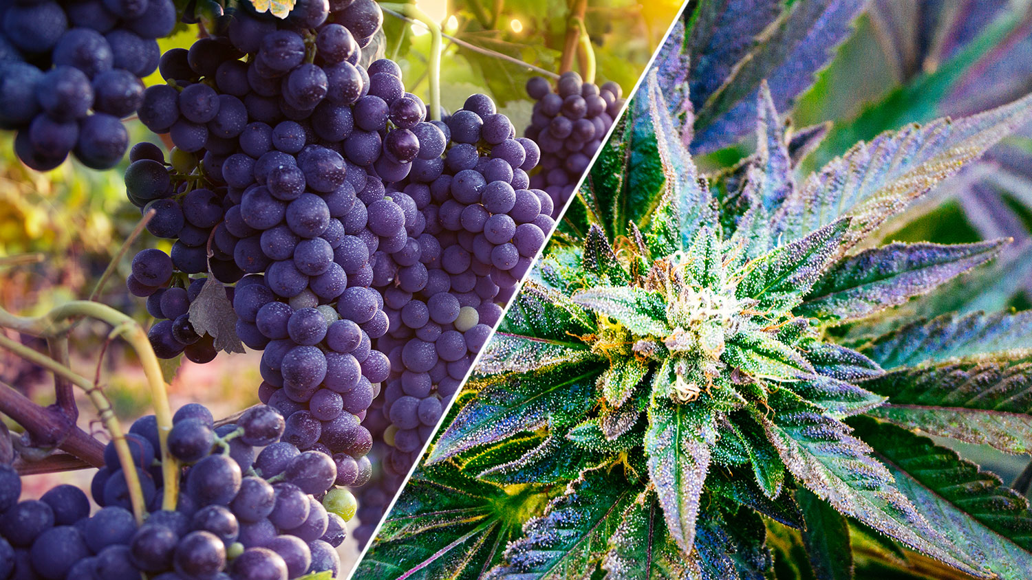 weed and wine symposium in california