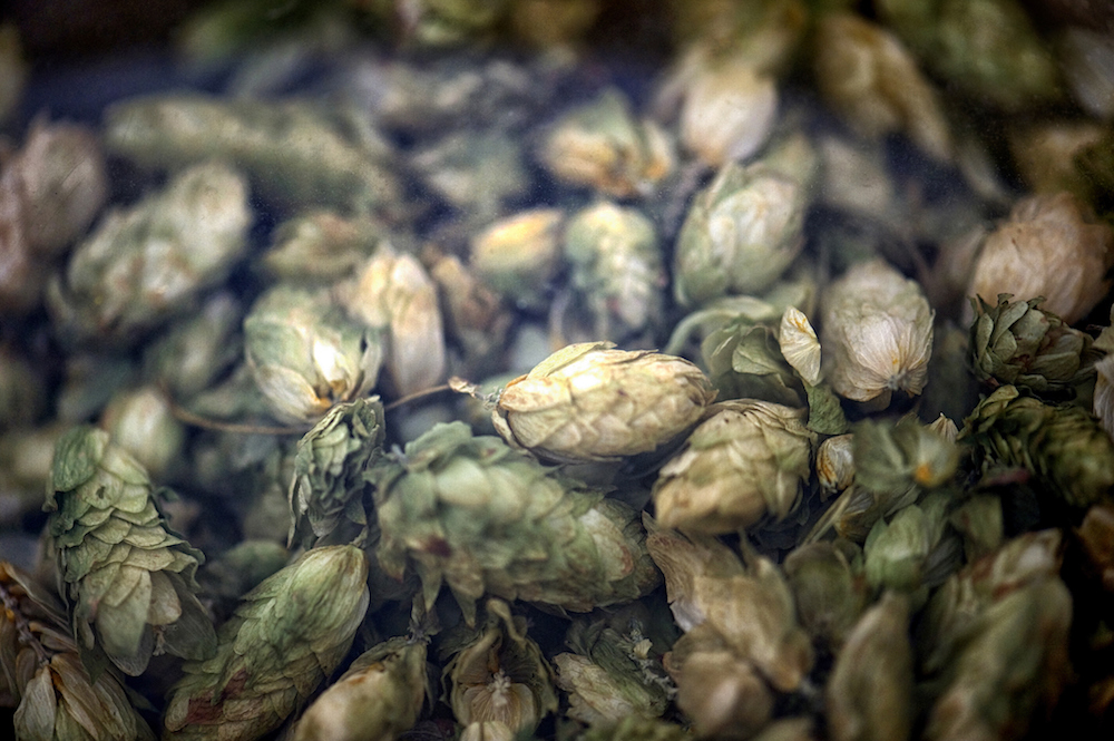 Hops used for making beer