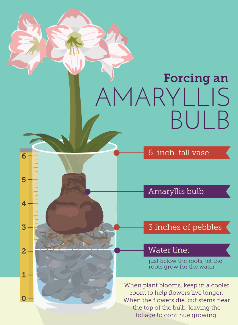 Forcing an Amaryllis Bulb