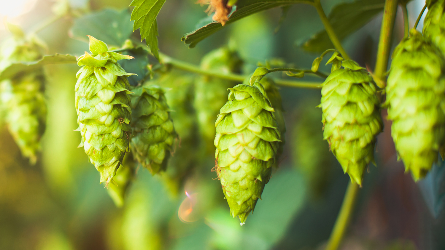 hops vines make great beer
