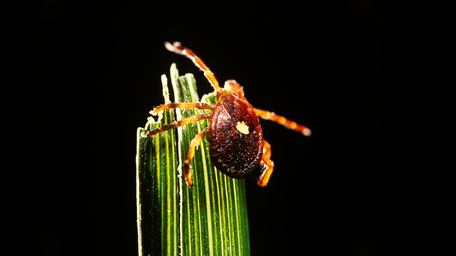 the lone star tick causes meat allergy