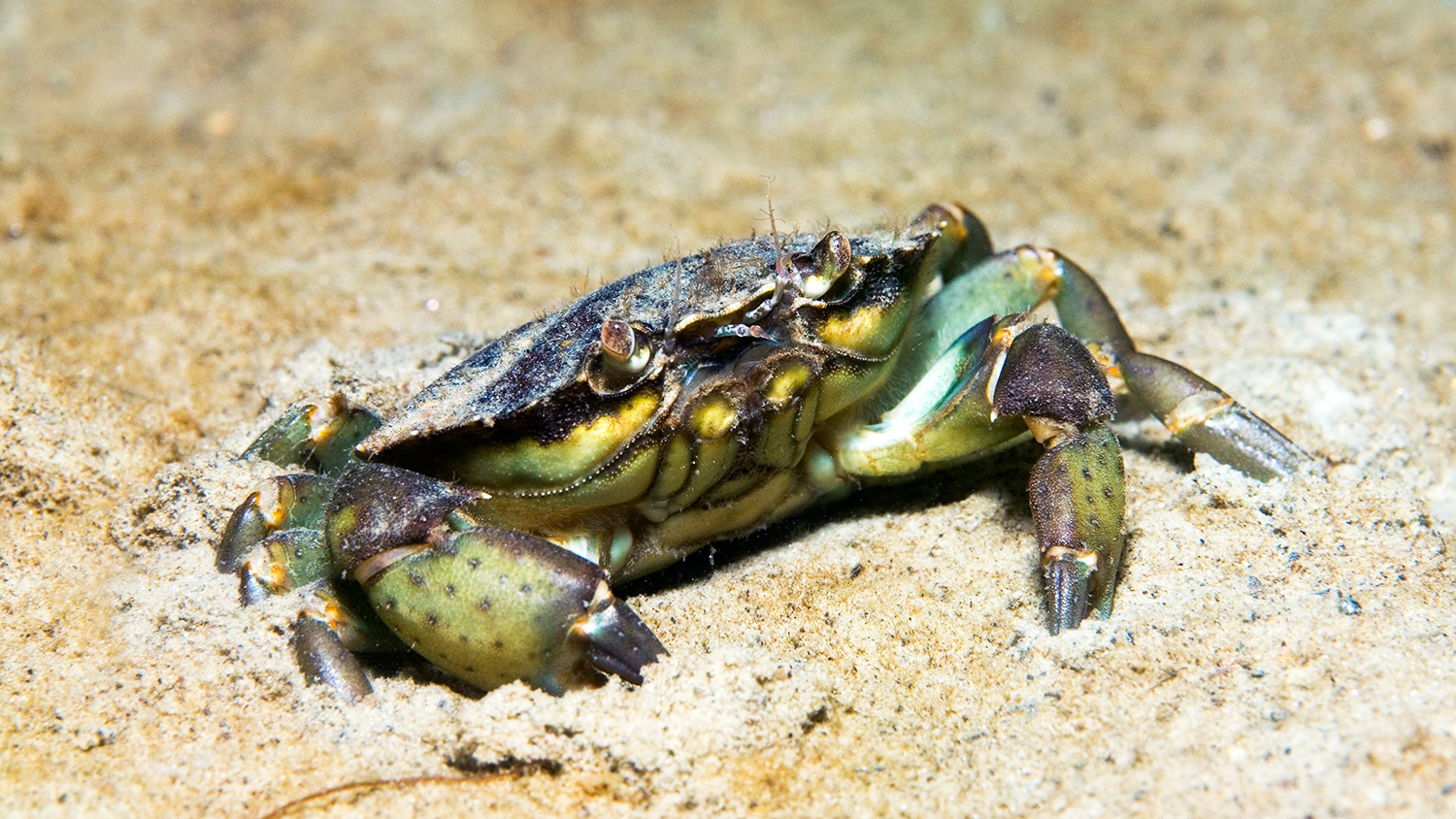 green shore crabs pest problem