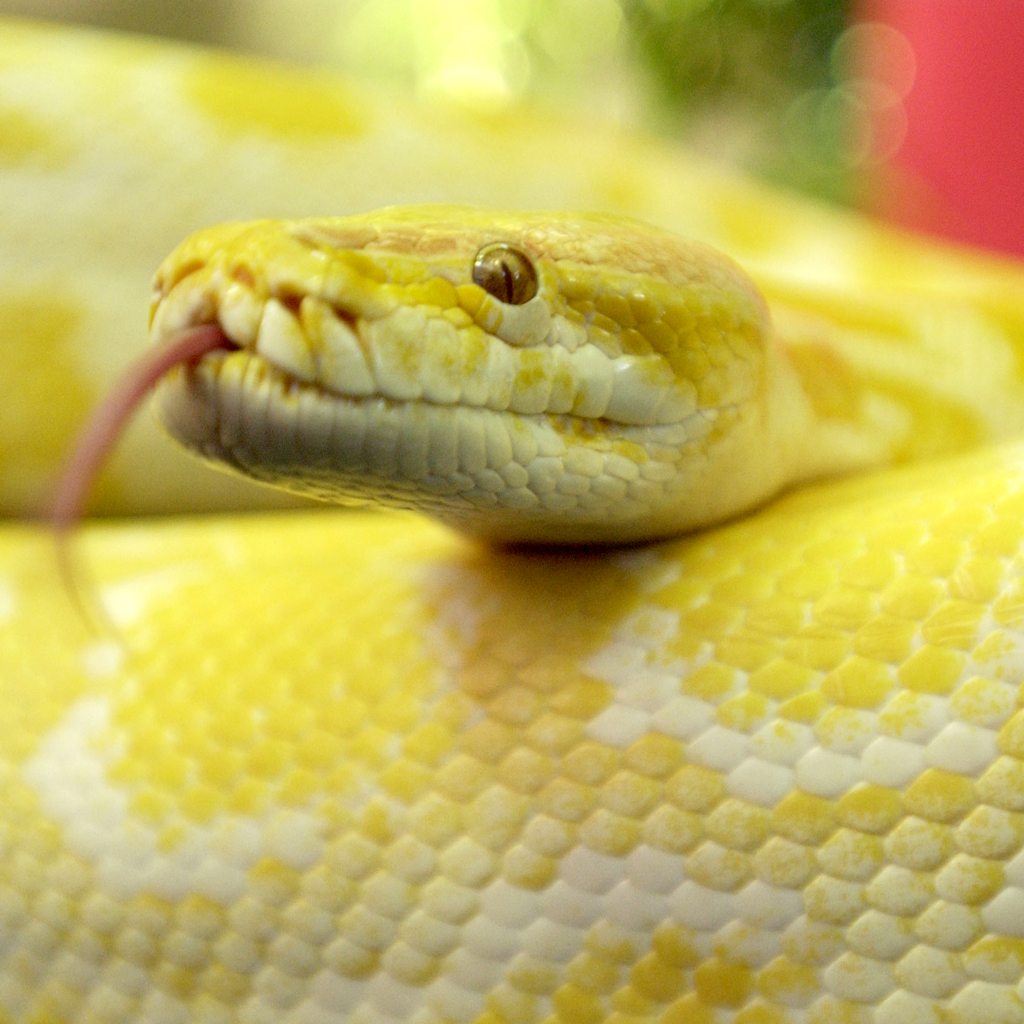 PYTHON THROWN INTO SUSHI RESTAURANT FWX