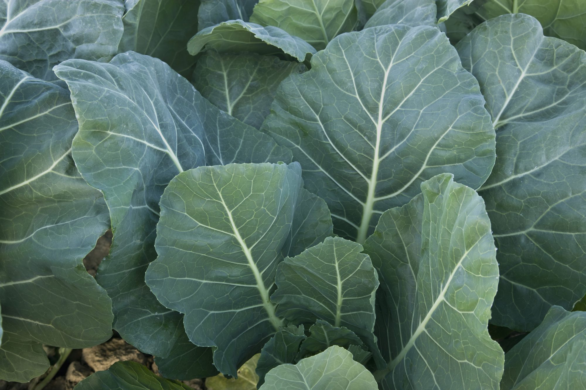 Myth #4: Collard greens are difficult to prepare.