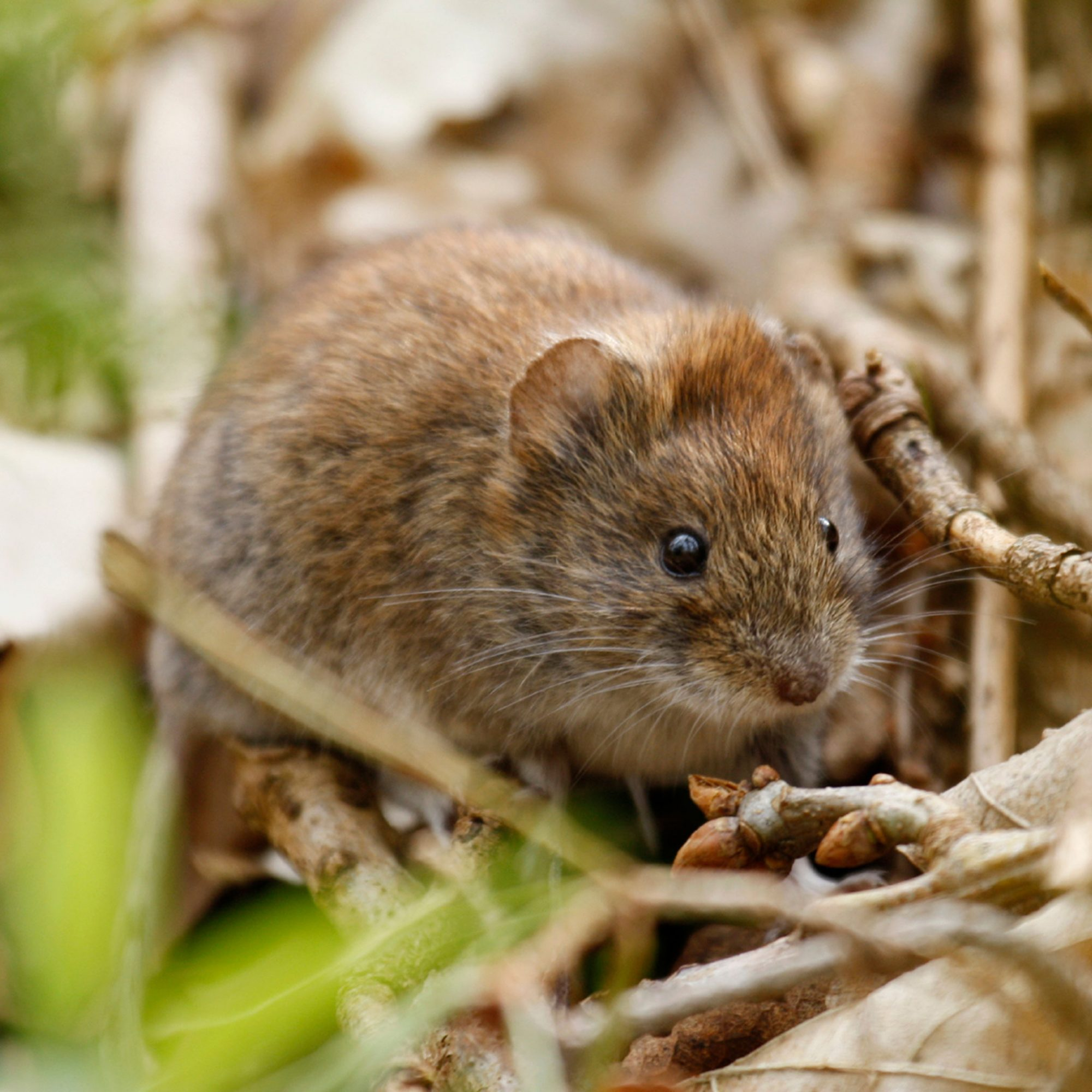 VOLE DRUNKEN BEHAVIOR