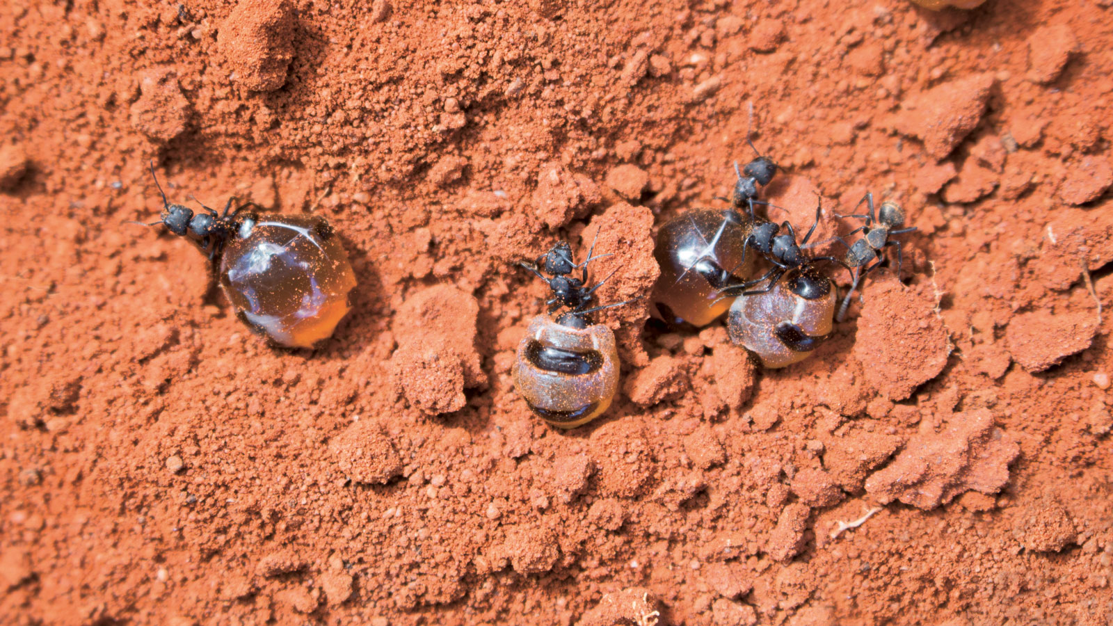 Newly dug honey ants, Australia