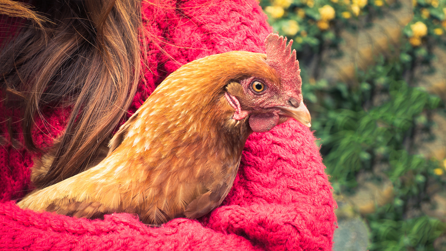 snuggling chickens