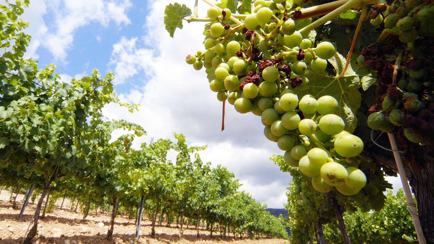 torress vineyard in spain overcomes pests and climate change