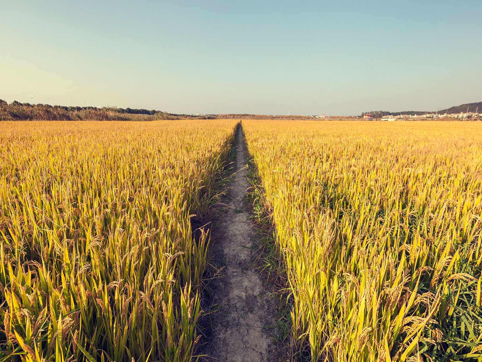 co2 impacts rice crops and other crops