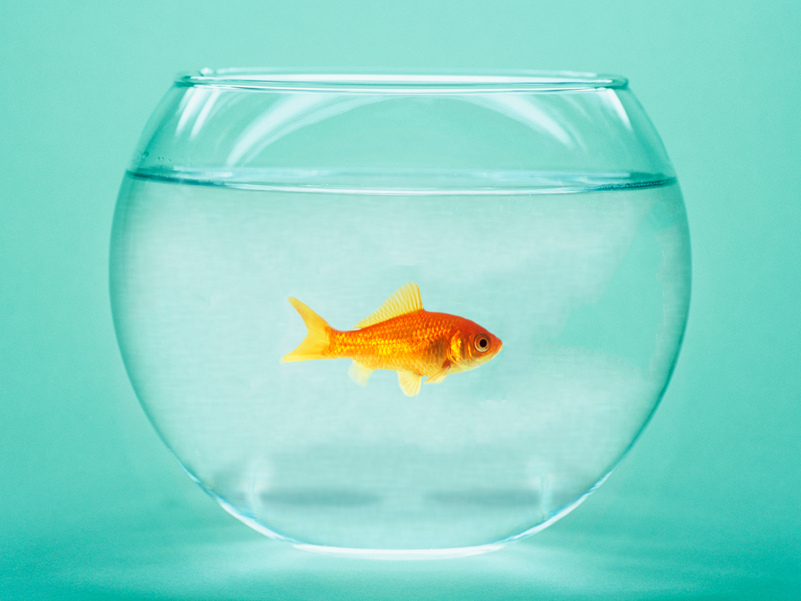 goldfish get drunk to survive cold waters