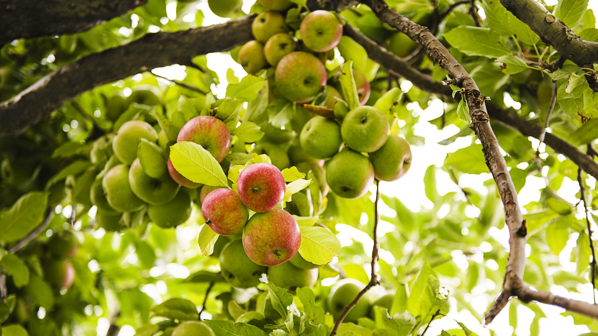 apple-tree-BLOG0917.jpg