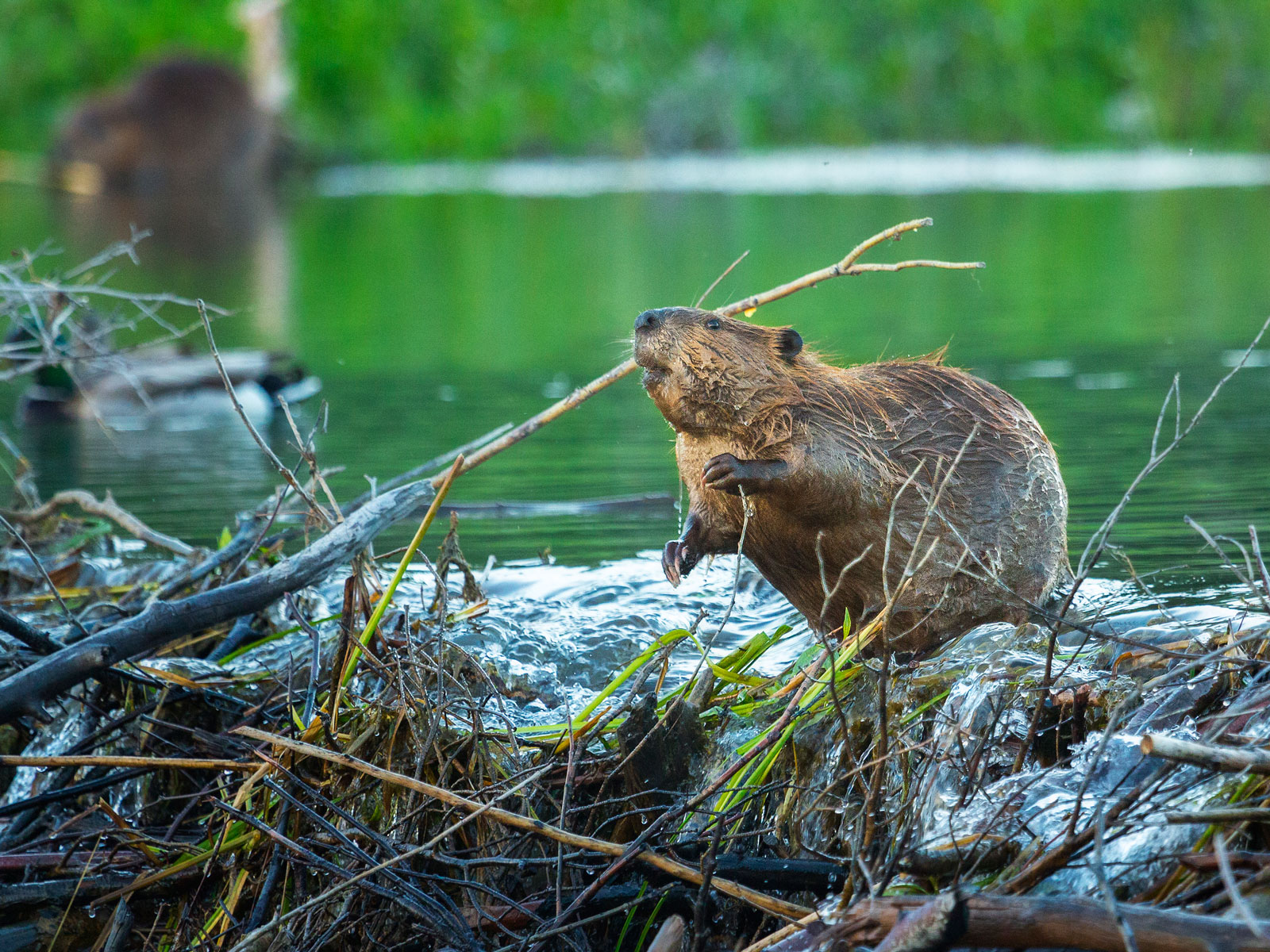 beaver-musk-whiskey-FT-BLOG0618.jpg
