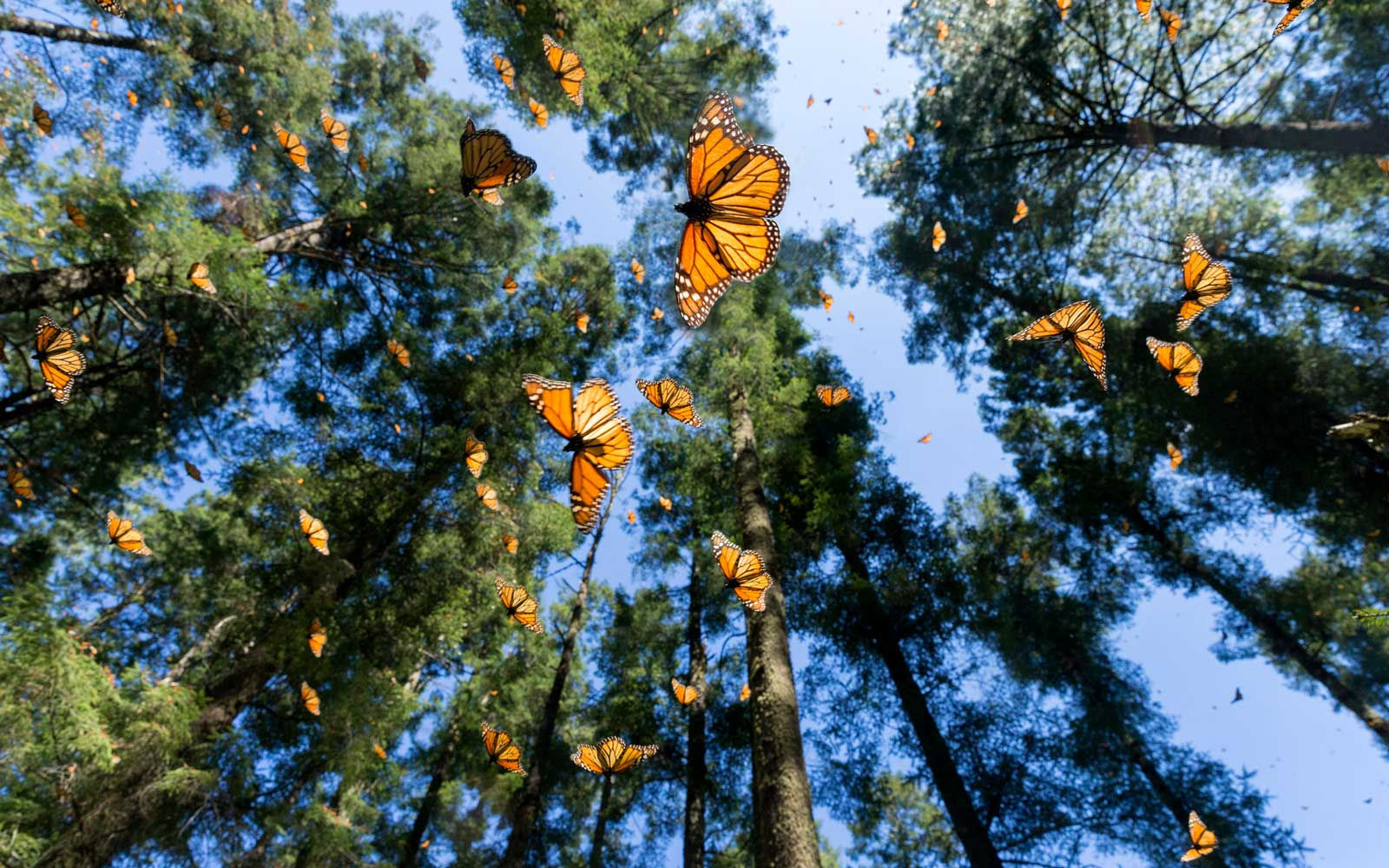 See the Monarch Butterfly Migration in Mexico